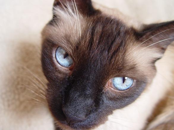 Siameser katt som ser på deg