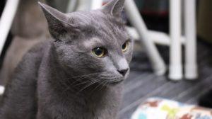 Russisk blå katten