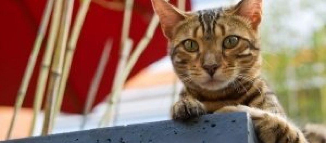 1393095_bengal_cat